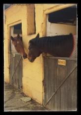 Horses greeting
