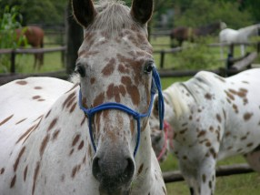Stallion apaloosa with gelding